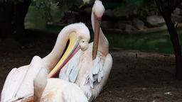 Pelicans cleans her feathers Stock Video Footage