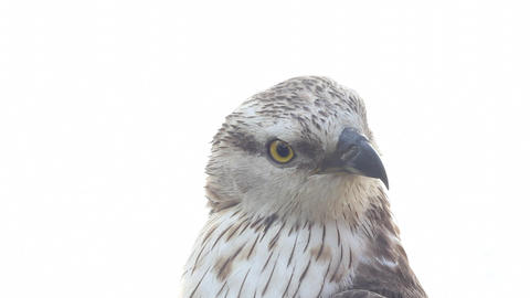 Rough-legged Buzzard stock footage