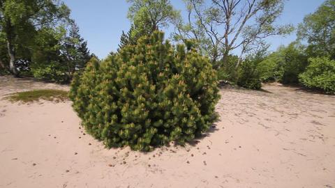 round pine Live Action