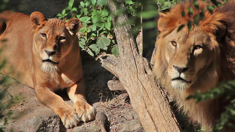 Lioness and lion Stock Video Footage