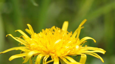 Bee and dandelion Footage