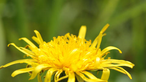 Bee and dandelion Stock Video Footage
