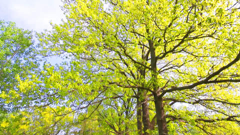 Green oak tree Stock Video Footage