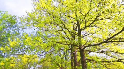 Green oak tree Footage