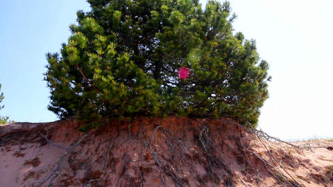 Pine trees Footage
