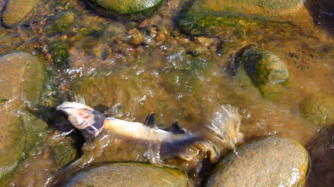 salmon after spawning Stock Video Footage