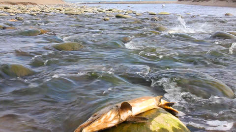 humpback salmon Stock Video Footage