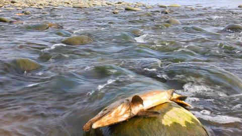 humpback salmon Footage