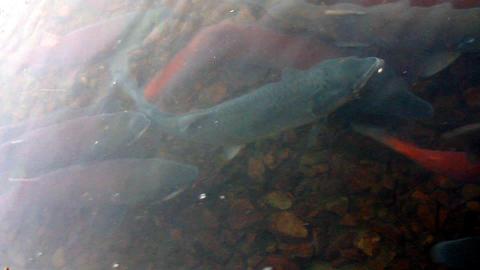main run blue-backed salmon Stock Video Footage
