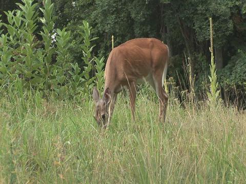 Deer grazing Stock Video Footage