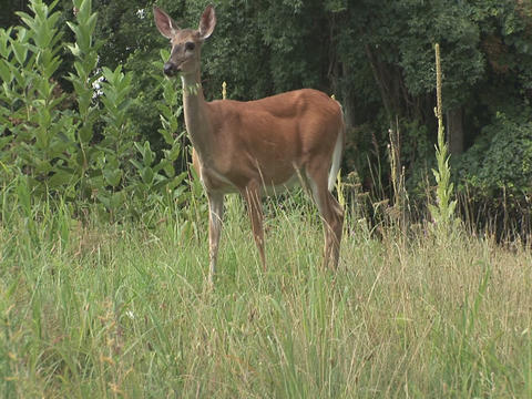 Deer grazing Footage