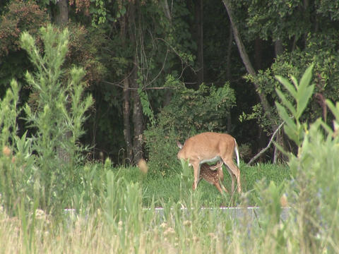 Deer With Fawn stock footage