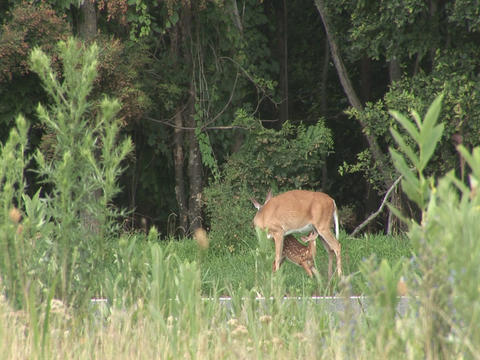 Deer with fawn Stock Video Footage