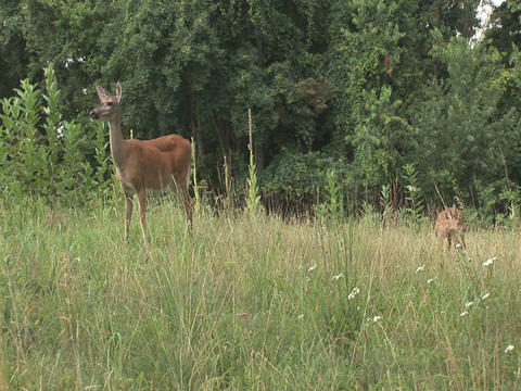 Mother deer with fawn grazing Footage