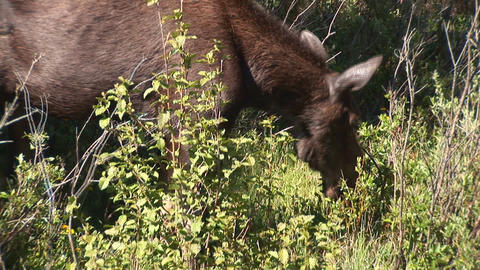 Moose walking Footage