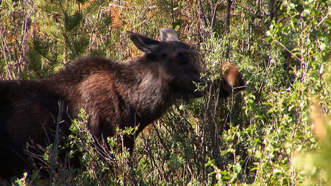91 rmnp moose eats tree Footage
