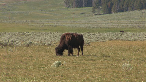 Bison in Yellowstone National Park Footage