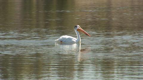115 ynp pelican close fishing bridge Footage