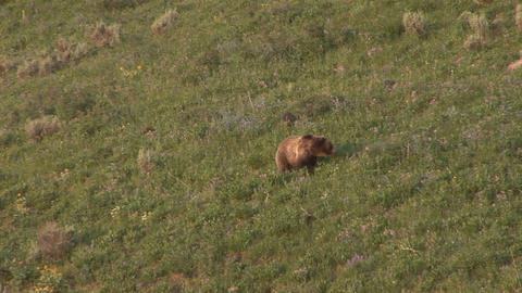 Grizzly cubs walking and digging Footage