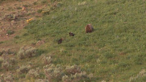 Grizzly and cubs playing Footage