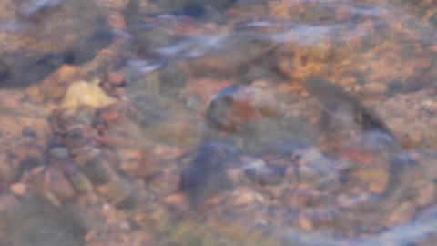 spawning of a bleak (Alburnus alburnus) Stock Video Footage