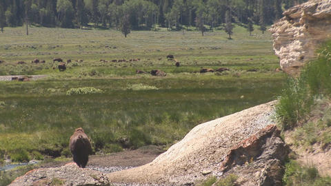 Bison in Yellowstone National Park Stock Video Footage