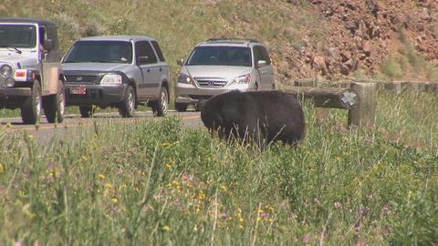 173 ynp black bear cars Footage