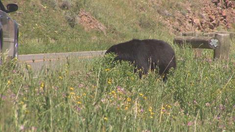 175 ynp black bear car passing Footage