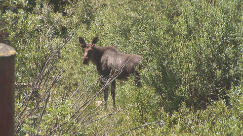 179 ynp moose walks away Footage