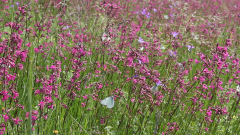 Butterflies on flower field in summer 11 Stock Video Footage