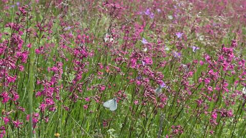 Butterflies on flower field in summer 11 Stock Video Footage