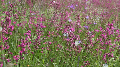 Butterflies on flower field in summer 11 Footage