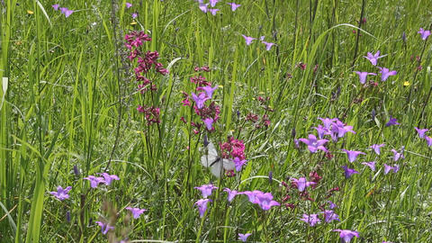 Butterflies on flower field in summer 4 Stock Video Footage