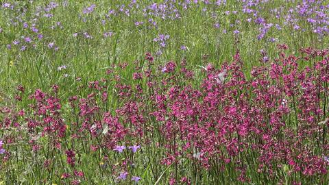 Butterflies on flower field in summer 2 Stock Video Footage