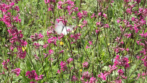 Butterflies on flower field in summer 6 Stock Video Footage