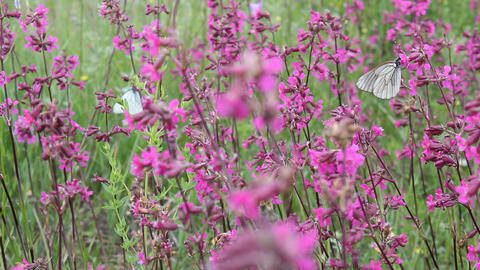 Butterflies on flower field in summer 7 Stock Video Footage