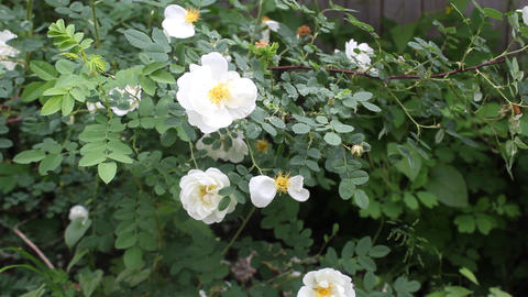 White dog-rose bush 4 Stock Video Footage