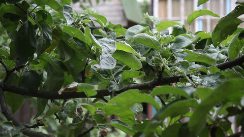 A branch of an apple-tree sways in the wind 5 Stock Video Footage