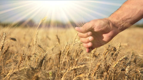 Ripe wheat, hand and the sun Footage