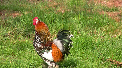 Rooster runs across the grass Stock Video Footage