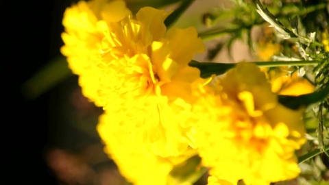 Marigold flower Stock Video Footage