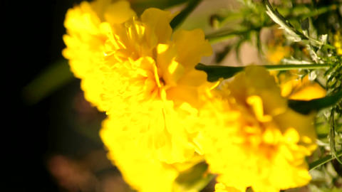 Marigold Flower stock footage