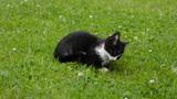 Walking kitten Footage