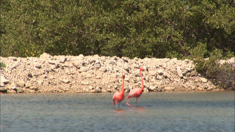 62 b two flamingos walking Footage