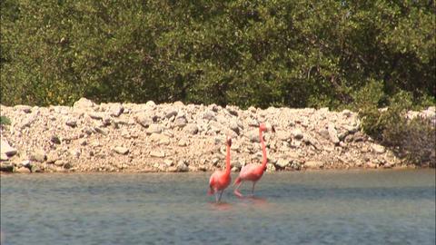 62 b two flamingos walking Footage