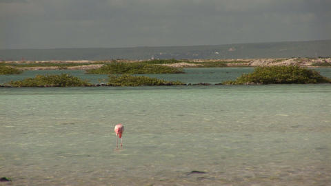 Flamingo looking for food Stock Video Footage