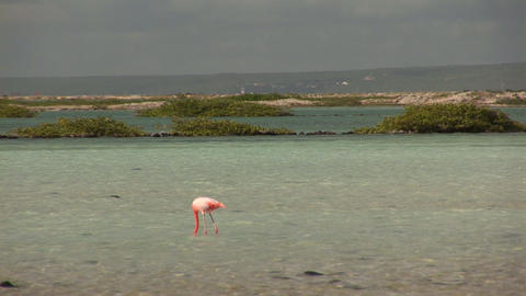 Flamingo looking for food Footage
