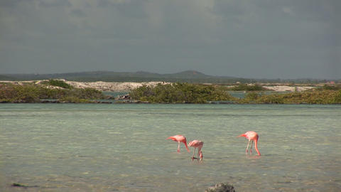 Flamingo's on Bonaire Stock Video Footage