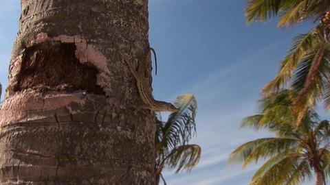 Lizard on palm tree Stock Video Footage