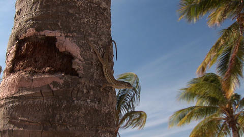 Lizard on palm tree Footage